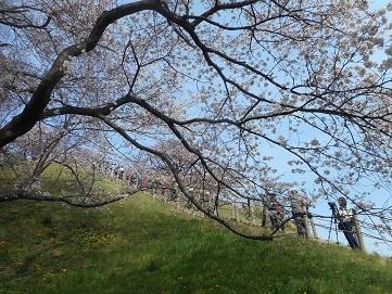 ③さきたま古墳公園の桜20170405
