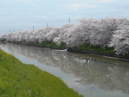 ⑯忍川の桜 20170407