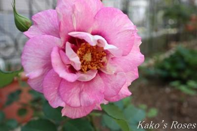 s-IMG_0243kako.jpg