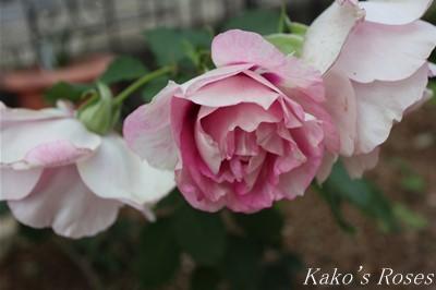 s-IMG_0368kako.jpg