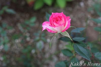 s-IMG_0588kako.jpg