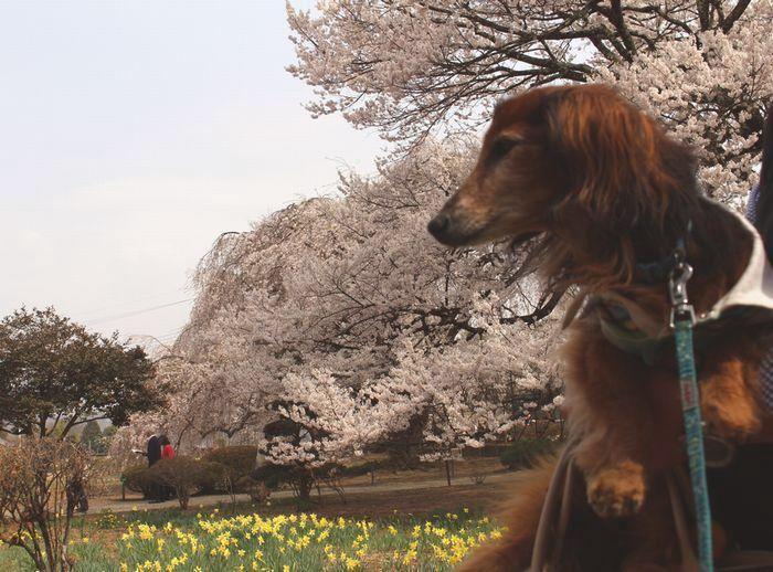 IMG_5730山梨県北杜市の 山高神代桜