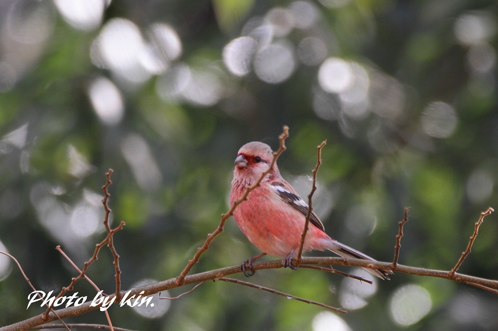 Long-tailed rosefinch ♪ ~PART2~