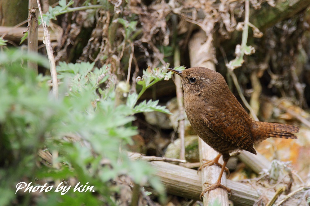 Eurasian wren ♪ ~PART2~