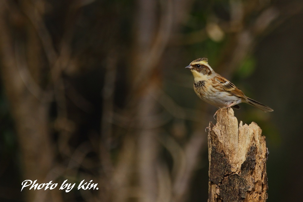 Yellow-throated bunting ♪ ~ミヤマホオジロ~