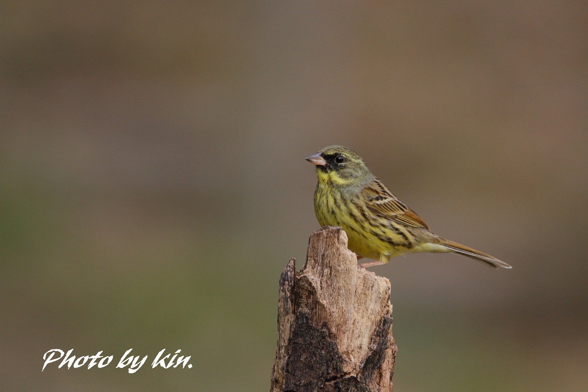 Black-faced bunting ♪ ~アオジ~