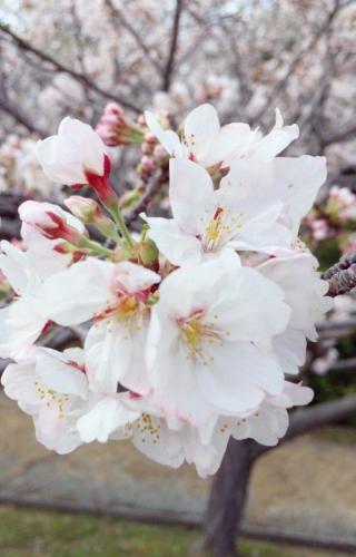 平草原 桜