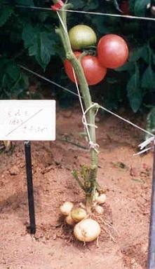 tomato_potato11.jpg