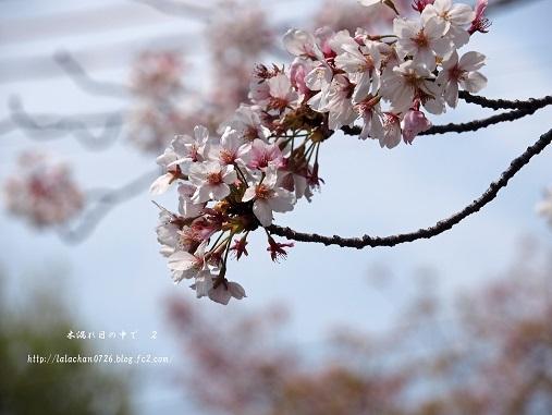 ほんのり桜