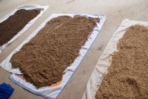 1704253種の種籾