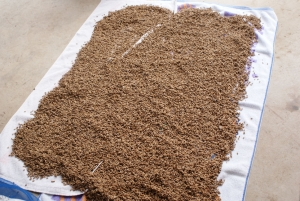 170425モチ米の種籾