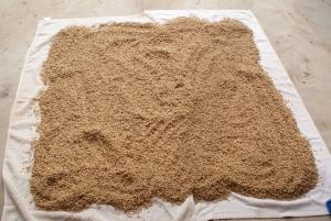 170425きぬむすめの種籾