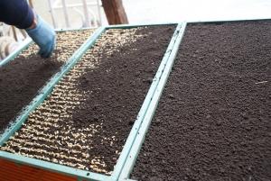 170426播種機で撒いたのにふく土