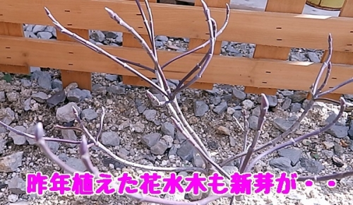 ハナミズキの新芽
