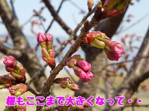 桜もここまで