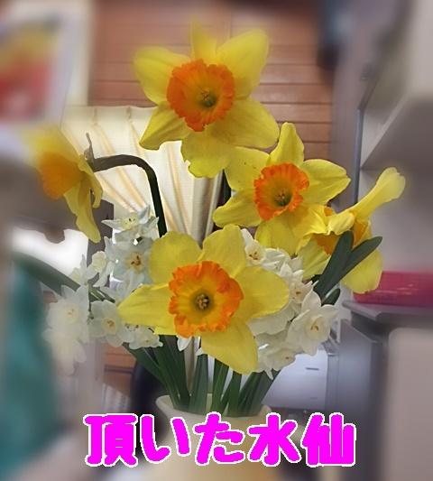 水仙の花たち1