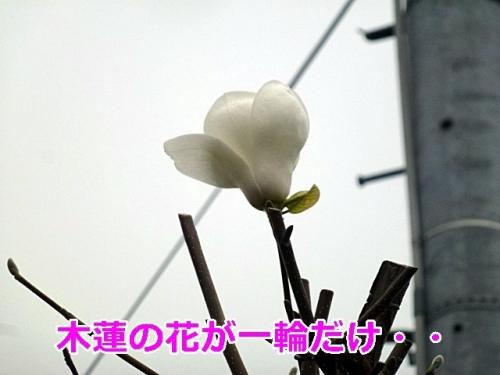 木蓮の花が一輪