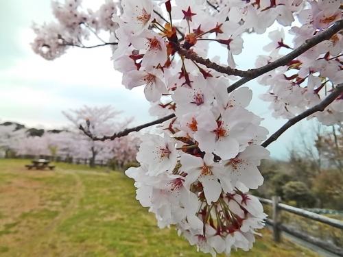 桜の花はいいな~