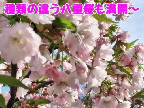 種類の違う八重桜