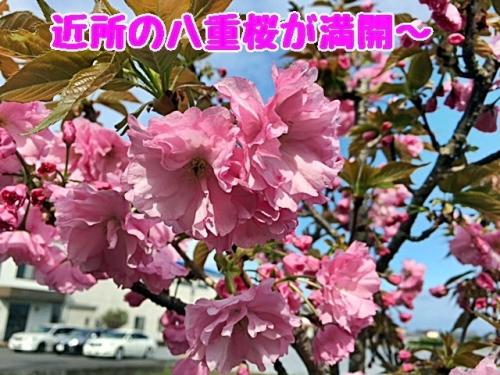八重桜満開1