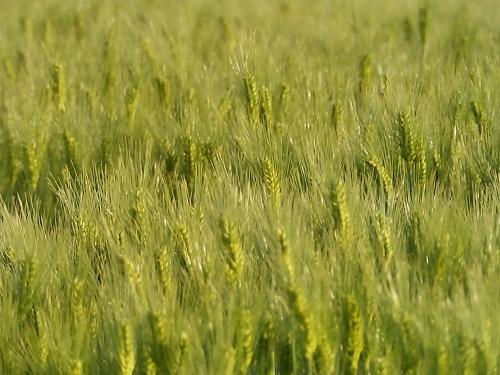 キラキラ光る麦の穂