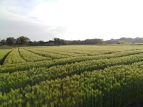 ムギ畑はすごい