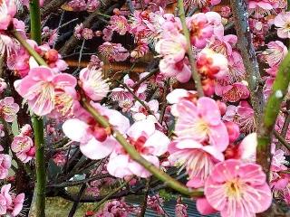 170303_4477 ご近所の庭に咲いていた紅梅VGA