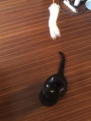 170314_0370 猫じゃらしの玩具で遊ぶキキちゃん_縦VGA