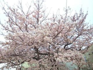 170410_4549 公園の櫻wideVGA