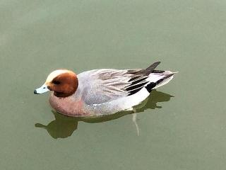 170410_0427 池の野鳥VGA
