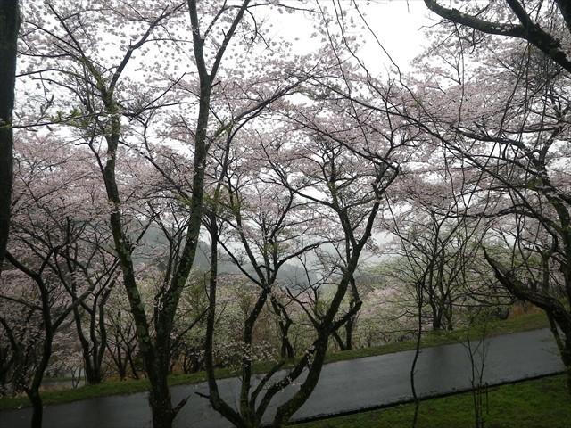 みやこ町仲哀公園(七曲)の桜-2