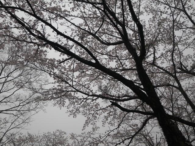 みやこ町仲哀公園(七曲)の桜