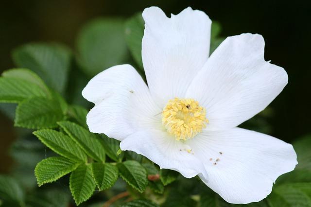 wild-rose-144843_640.jpg
