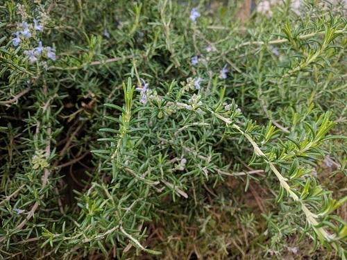 庭のローズマリー剪定してドライにすれば香りが際立つ