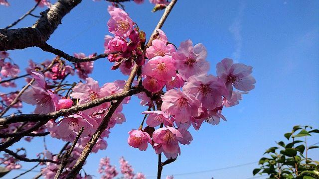 陽光桜とナシカおいさんの歌のおまけつき 1