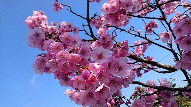 陽光桜とナシカおいさんの歌のおまけつき 2