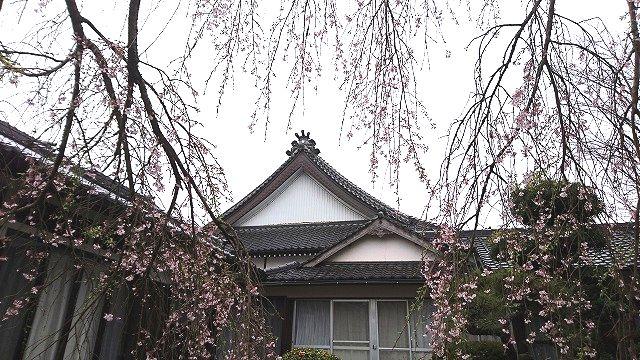 光永寺の枝垂れ桜