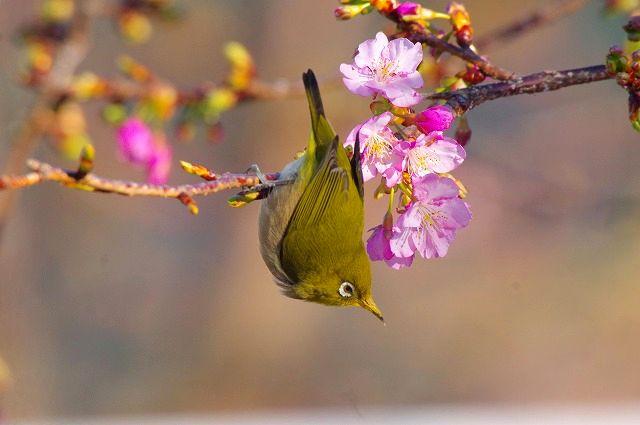 続河津桜と豊後メジロ