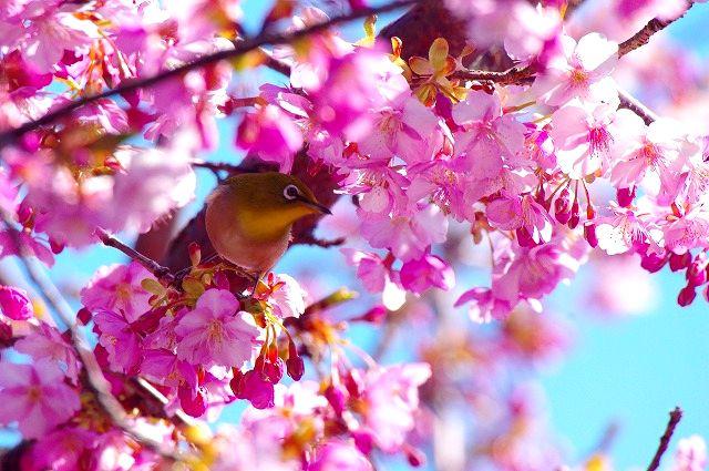 もう一回ありました。続 河津桜とメジロン 満開編