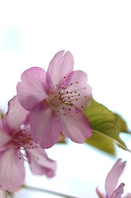 夕暮れマクロで河津桜