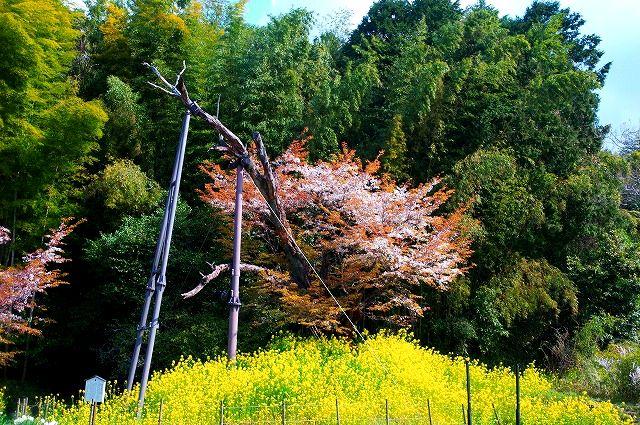 魚見桜(山ザクラ)