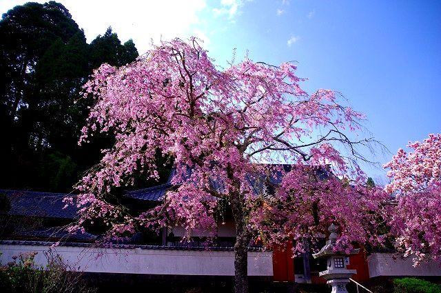 浄土真宗本願寺派 了正寺の枝垂れ桜