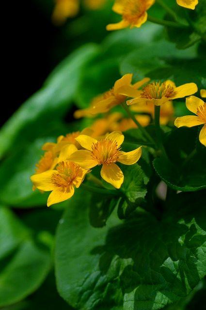 春をつげる花 エゾノリュウキンカ