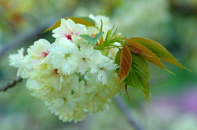 桜の雲海不動尊一心寺の八重桜 2