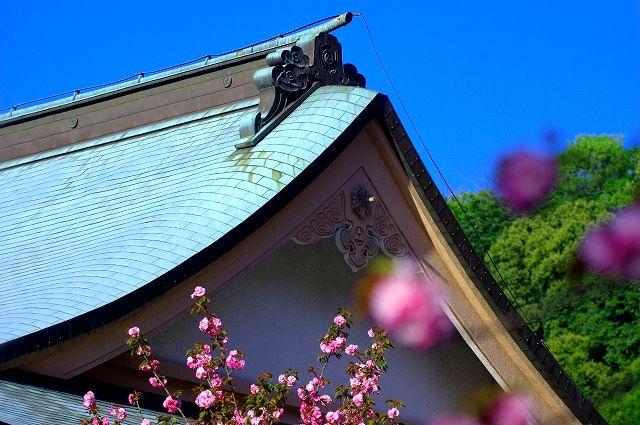 桜の雲海不動尊一心寺の八重桜 LAST