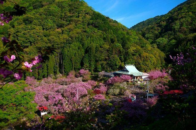 桜の雲海不動尊一心寺の八重桜
