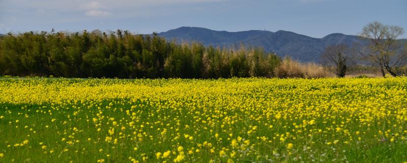 「黄色い絨毯3」  (徳島県鴨島)
