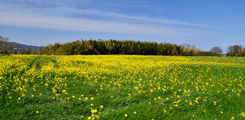 「黄色い絨毯2」  (徳島県鴨島)