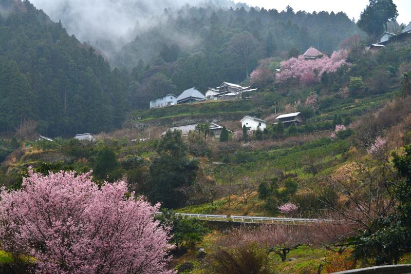 「霧雨に煙る桜花2」  (徳島県神山町)