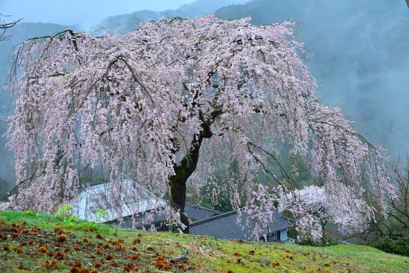 「しだれ桜」   (香川県まんのう町)